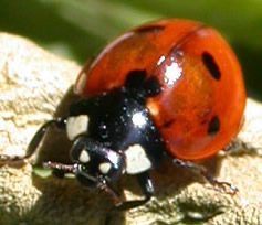 Picture of a ladybug