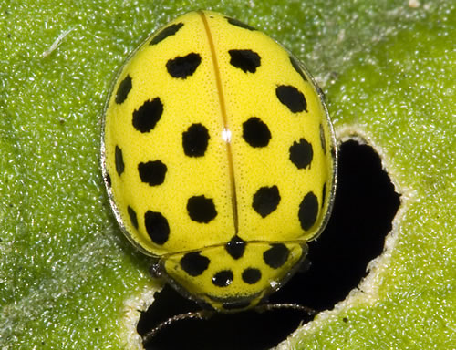 Pictures of YELLOW ladybugs