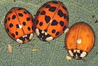 Adult Multicolored Asian Lady Beetle