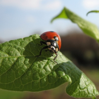Learn about ladybugs: house infestations, lots of pictures, facts like what they eat, biology: larvae, eggs, and life cycle, activities, more.