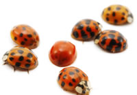 These ladybugs have different