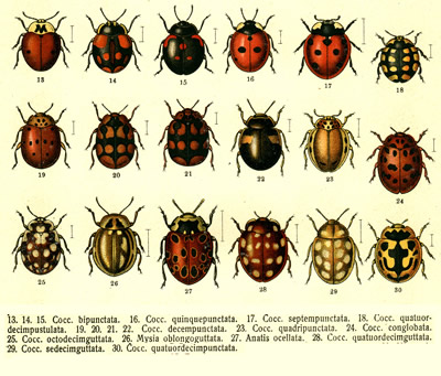 Did you know that some ladybugs have stripes and even other unusual  markings. Ladybug Lady  Unusual Ladybugs